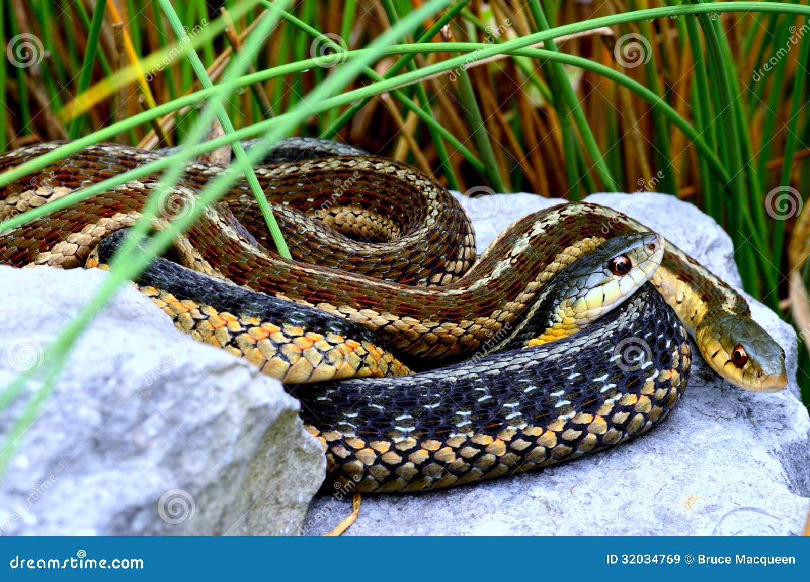 Serpientes de liga