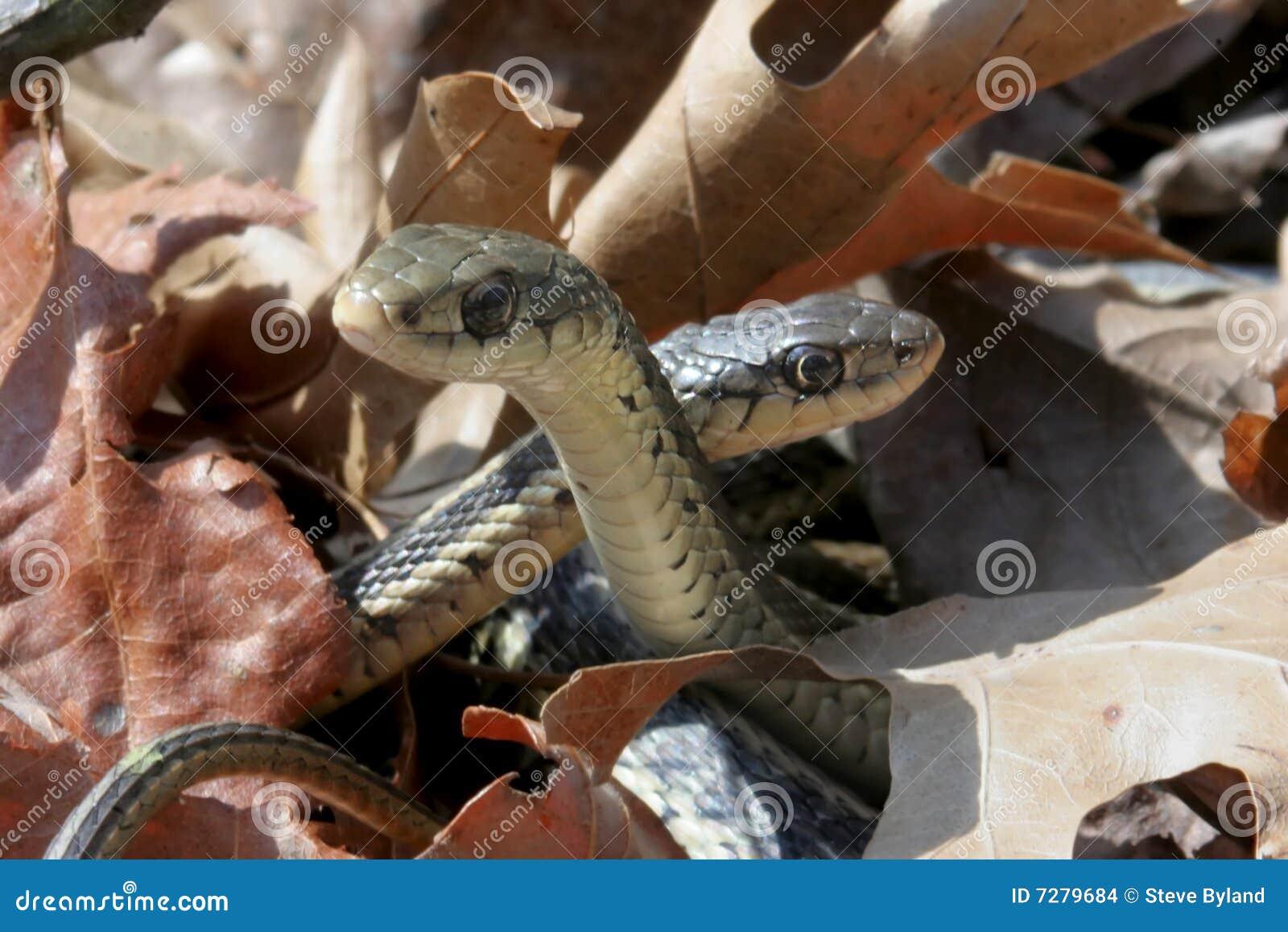 Serpientes de liga (sirtalis del Thamnophis)