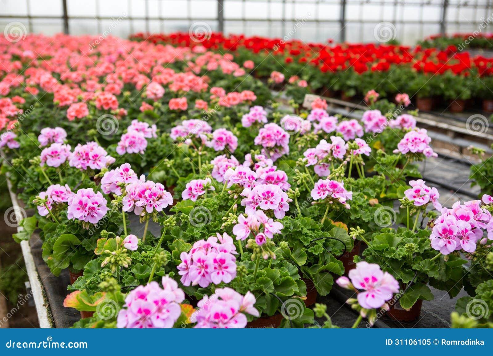 Serra con i fiori di fioritura del geranio