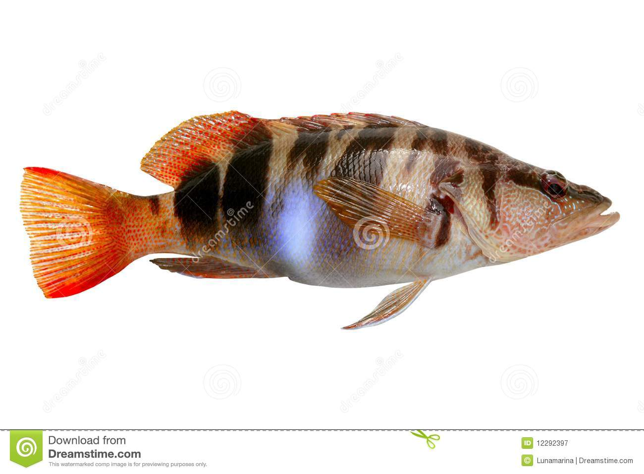 ... Fish Painted Comber Royalty Free Stock Photography - Image: 12292397