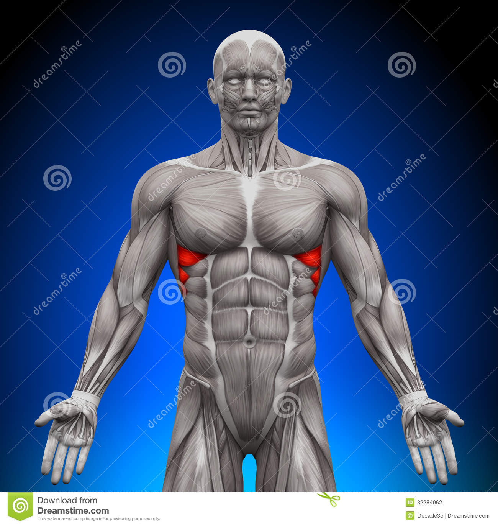 Serratus Anterior - Anatomy Muscles Stock Illustration ...