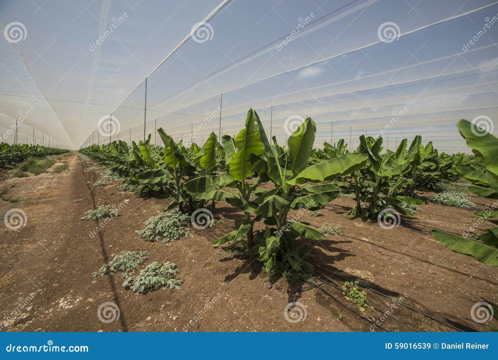 serre chaude de plantation de banane image stock image du liquide objets 59016539. Black Bedroom Furniture Sets. Home Design Ideas