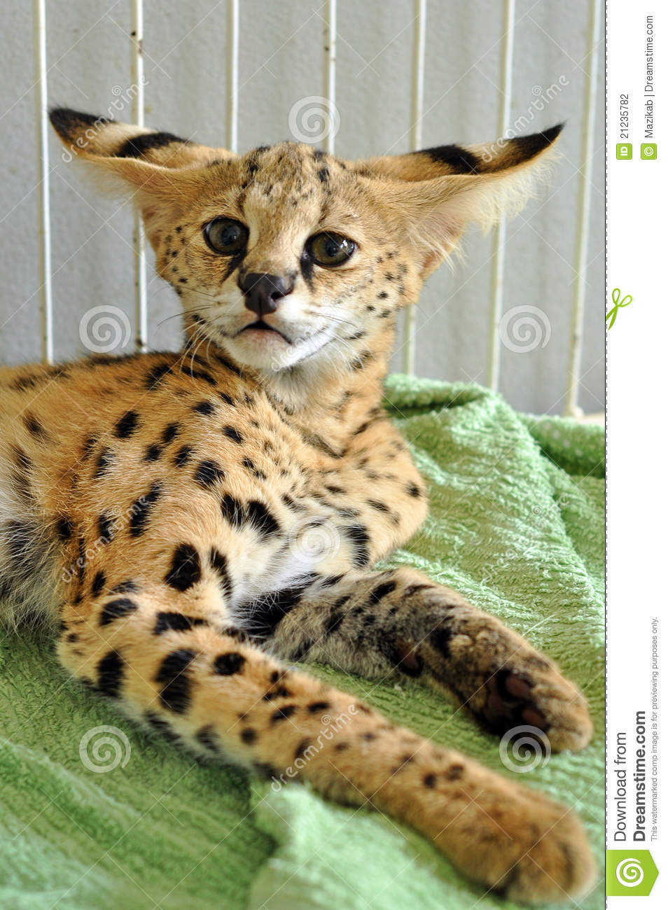 The serval is a medium sized cat. It is a strong yet slender animal ...