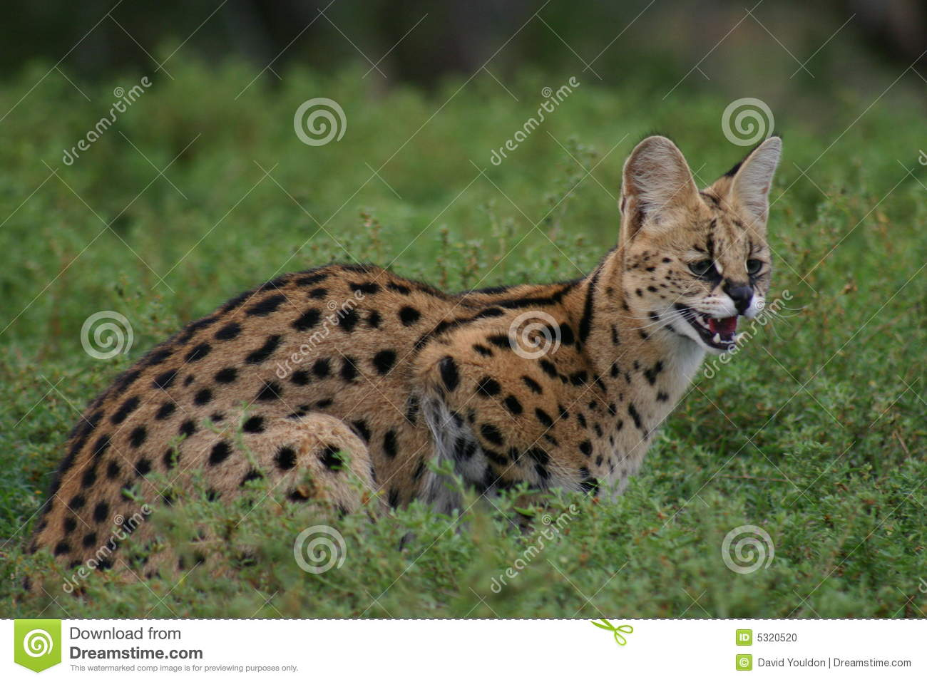 Download Serval fotografia stock. Immagine di erba, mammifero, gatto - 5320520