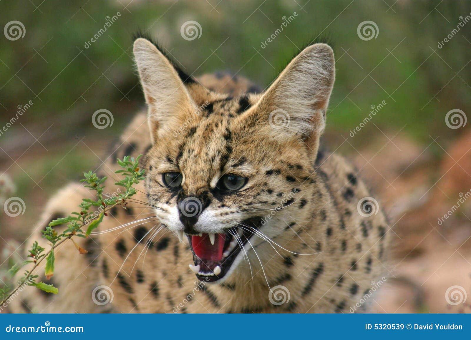 Download Serval immagine stock. Immagine di fauna, basette, erba - 5320539