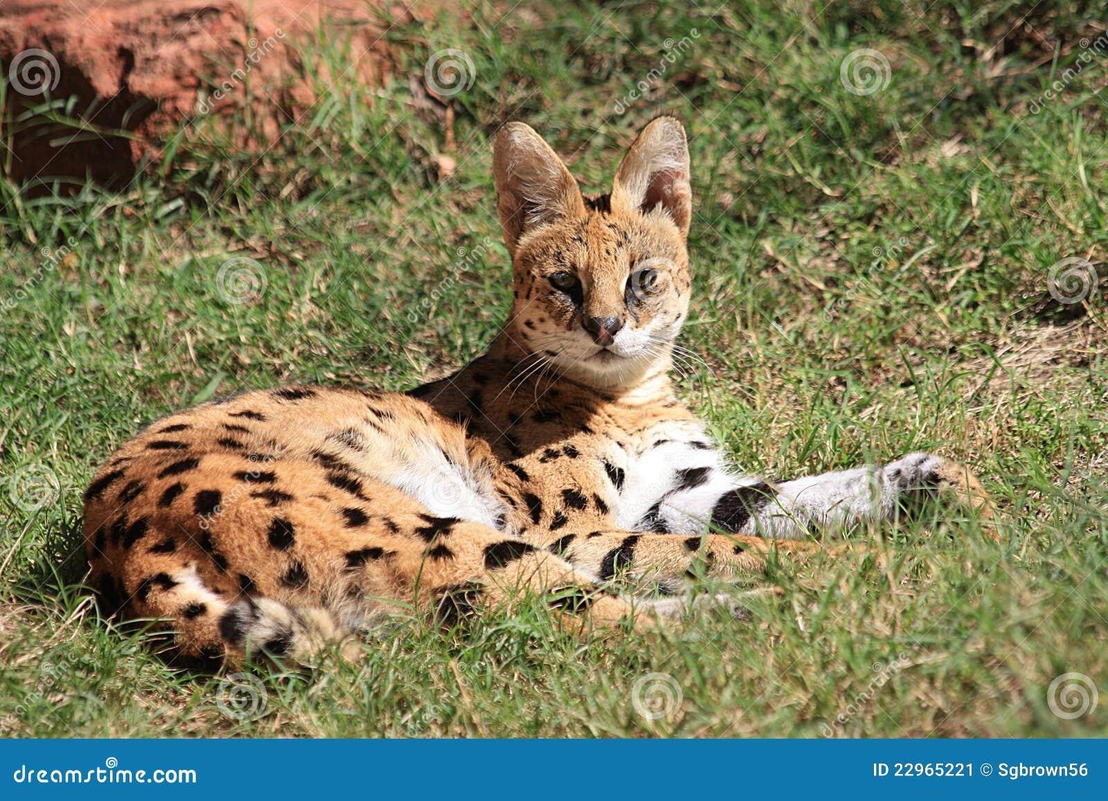 serval de wilde kat van afrika stock afbeelding afbeelding 22965221. Black Bedroom Furniture Sets. Home Design Ideas