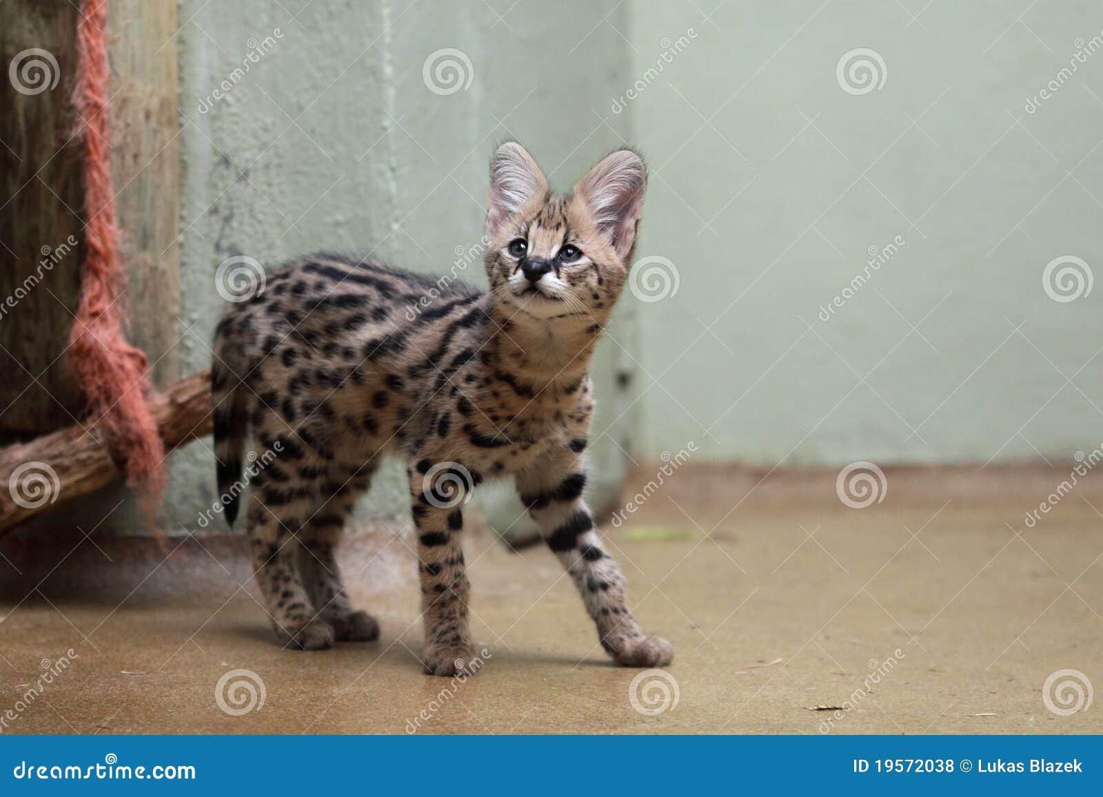 Serval juvenile