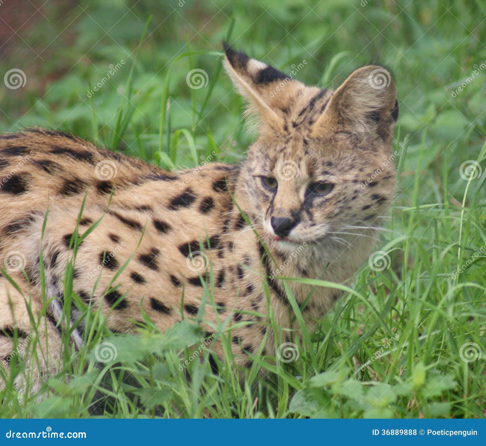 Download Serval - Serval Di Leptailurus Fotografia Stock - Immagine di specie, spotty: 36889888