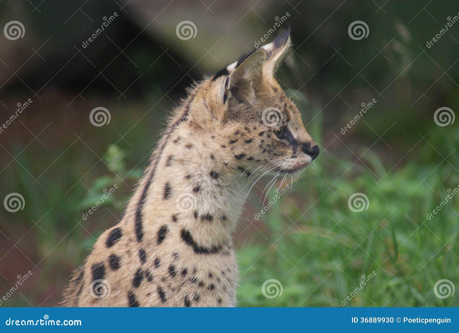 Download Serval - Serval Di Leptailurus Fotografia Stock - Immagine di settore, selva: 36889930