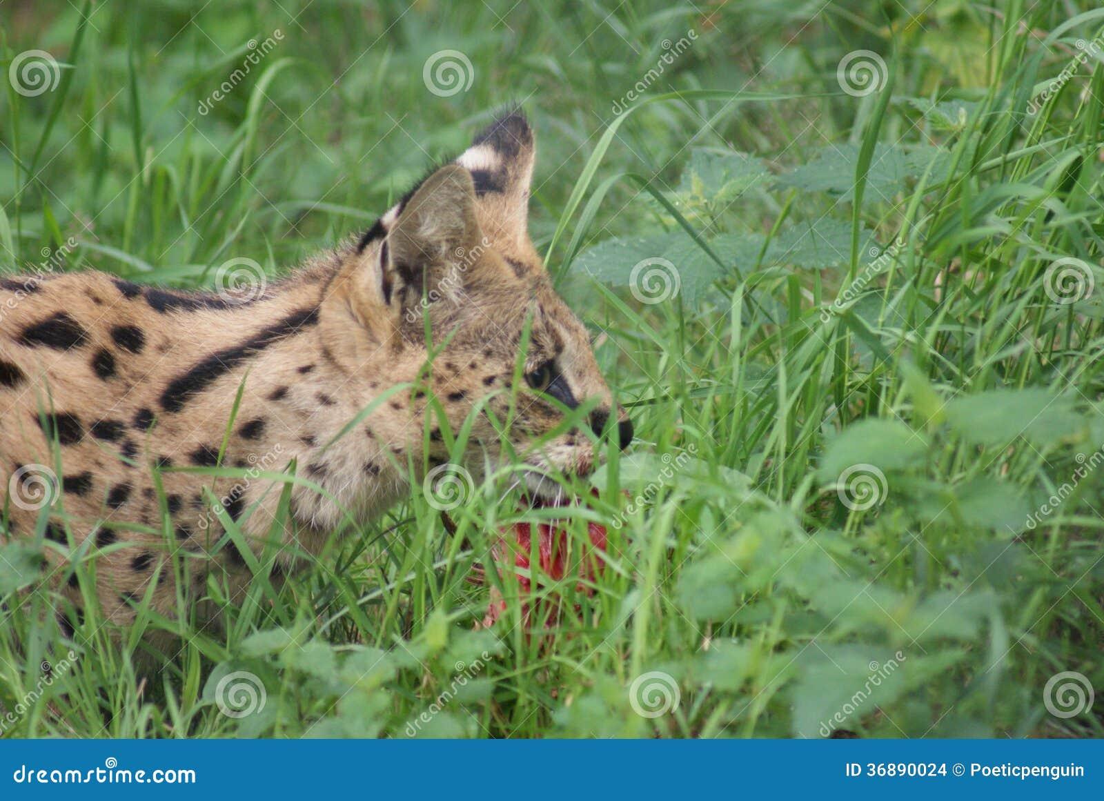 Download Serval - Serval Di Leptailurus Fotografia Stock - Immagine di specie, wildlife: 36890024