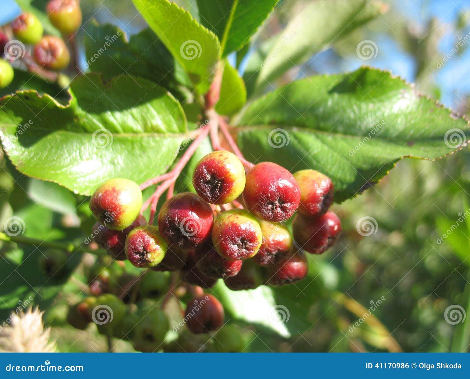 Lieblings Service-Baum Und Rote Beeren Stockfoto - Bild von service, asche &OC_51