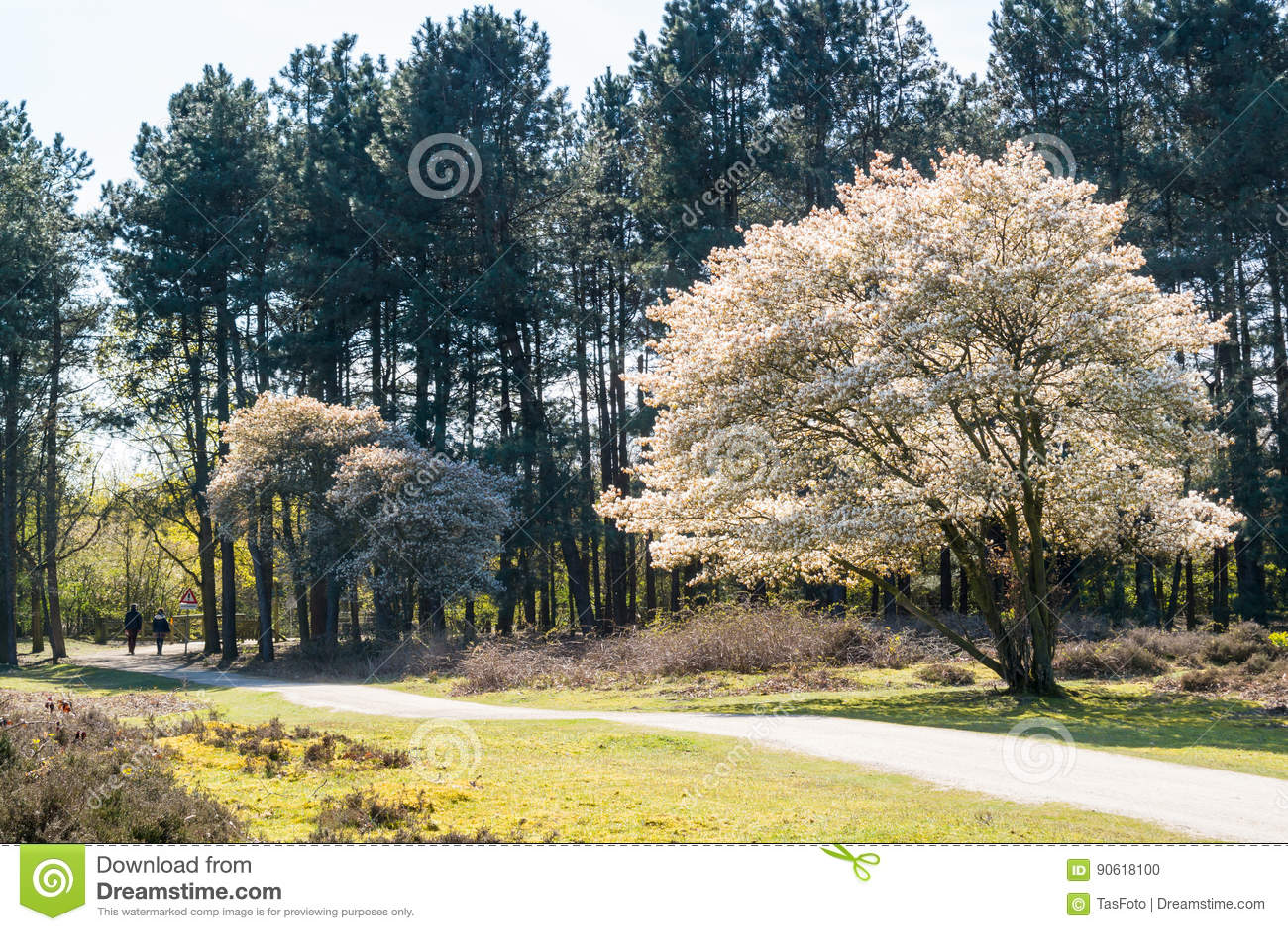 Serviceberryträd i blom och banan, hed, Nederländerna
