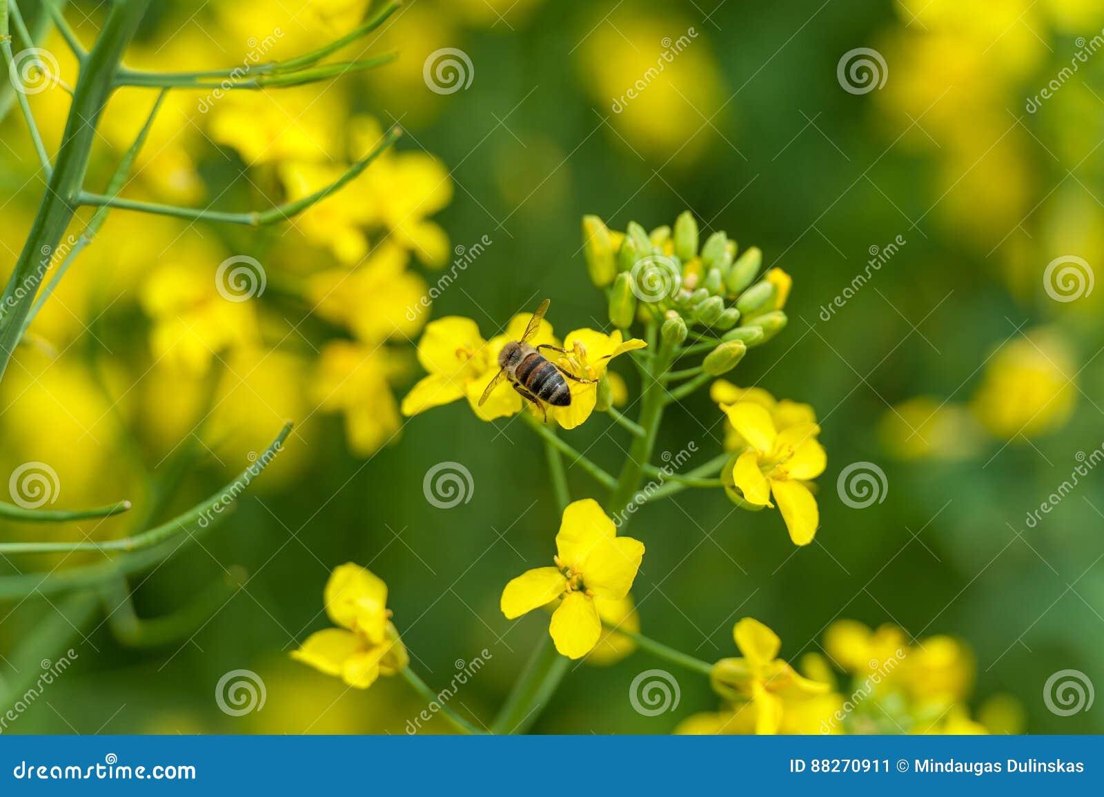Sessão fotográfica macro da abelha Campo da colza no bacground blurry