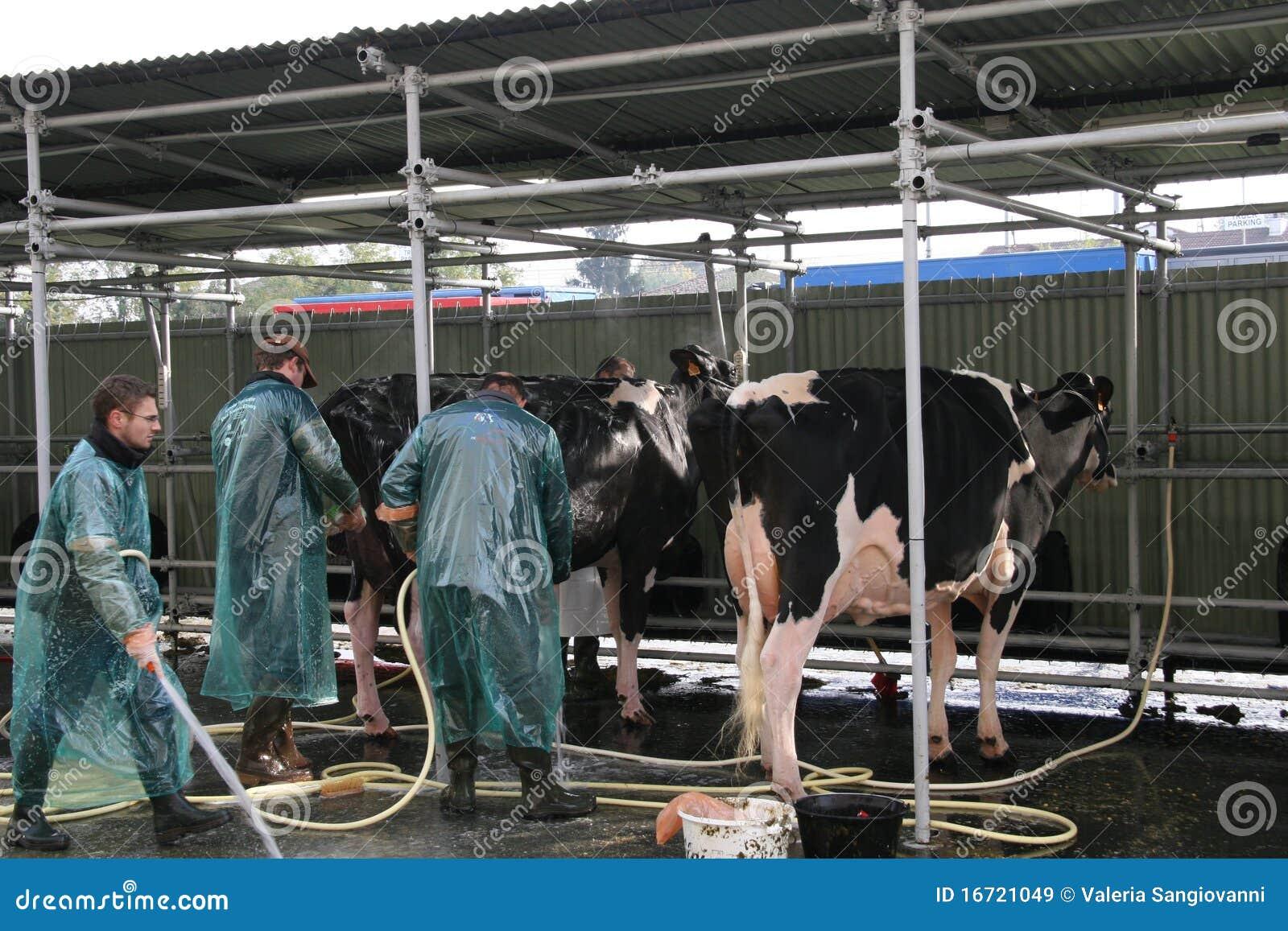 Sessantacinquesimo Mucche da latte giuste del commercio internazionale