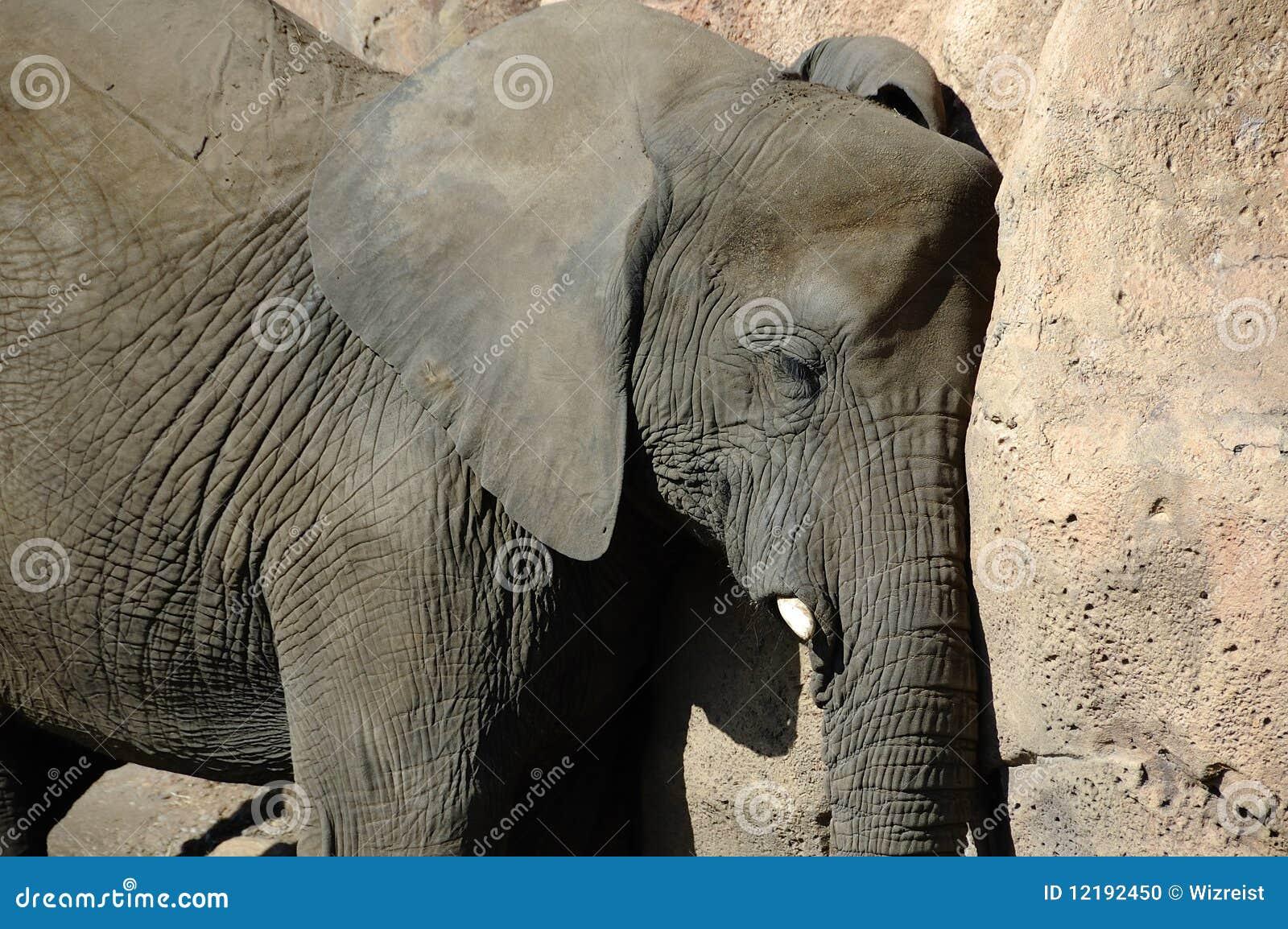 Sesta diária do elefante