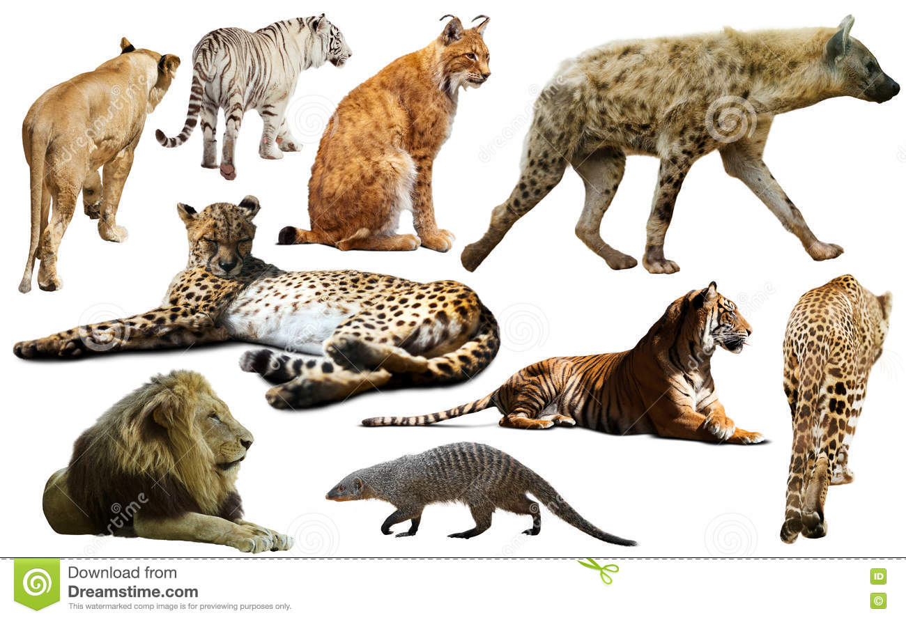 Set Of African Predators Isolated Over White Stock Image