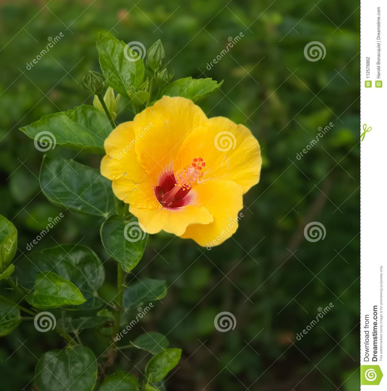 Single Yellow Hibiscus Stock Photo Image Of Bloom Blooming 112578862