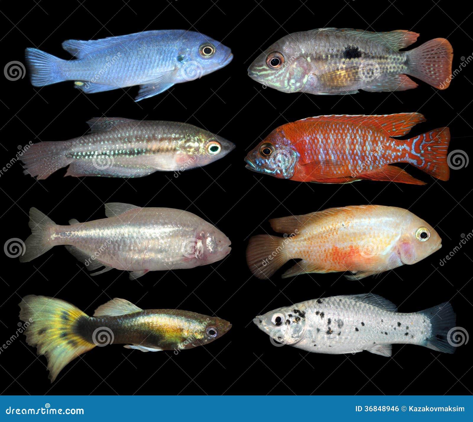 Set Of Aquarium Fishes On Black Background Stock Photo Image Of