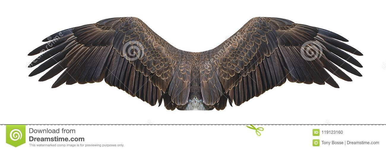 Bald Eagle Wings Isolated On White