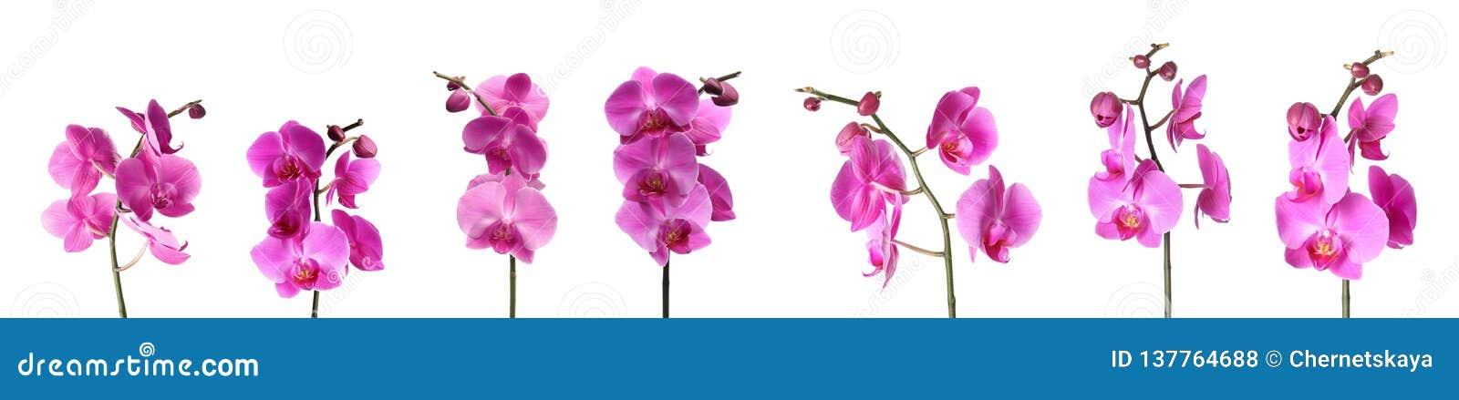 Set of beautiful purple orchid phalaenopsis flowers