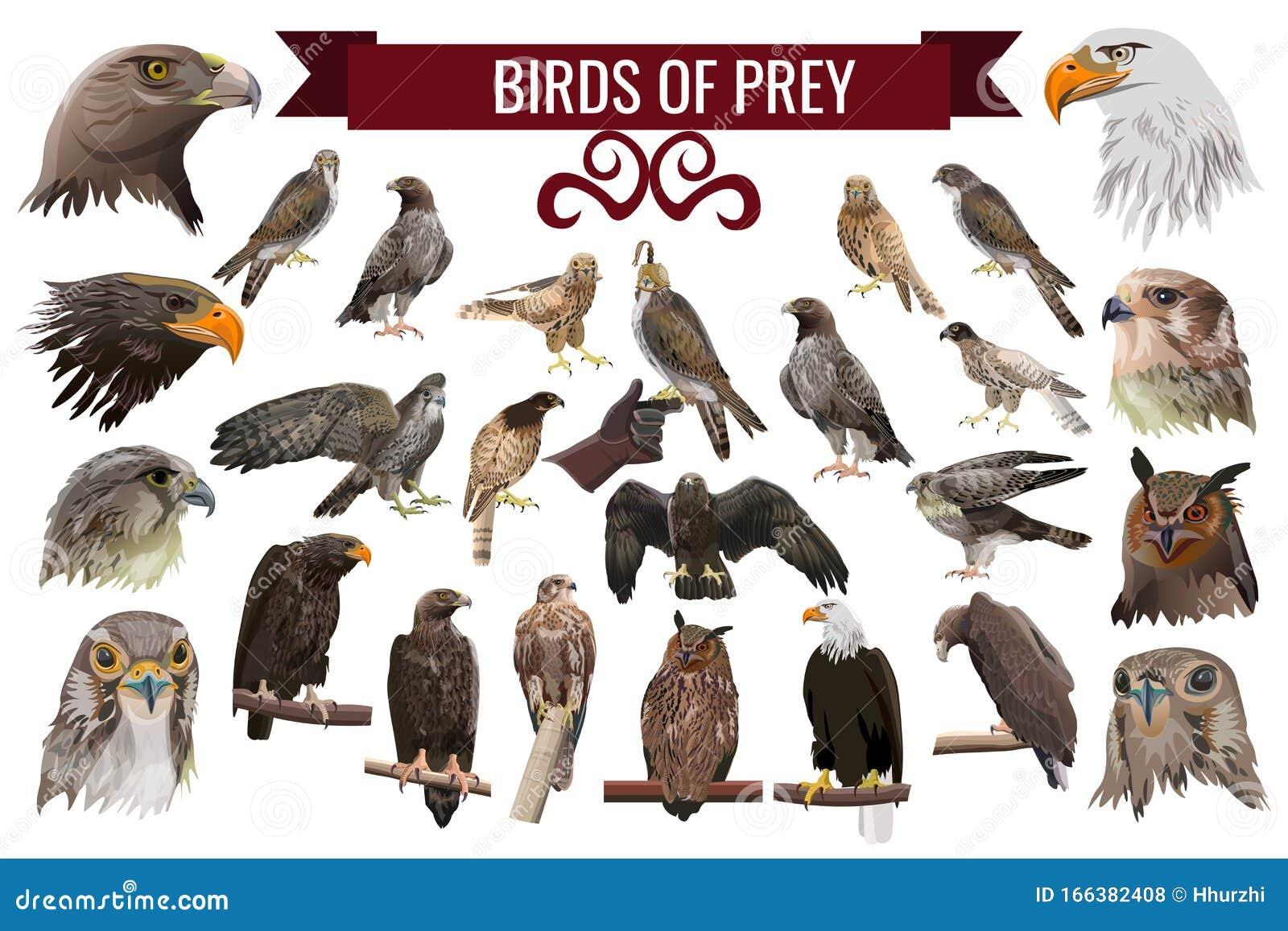 Set Of Birds Of Prey Vector Illustrations Stock Vector Illustration Of Mortarboard Icon 166382408