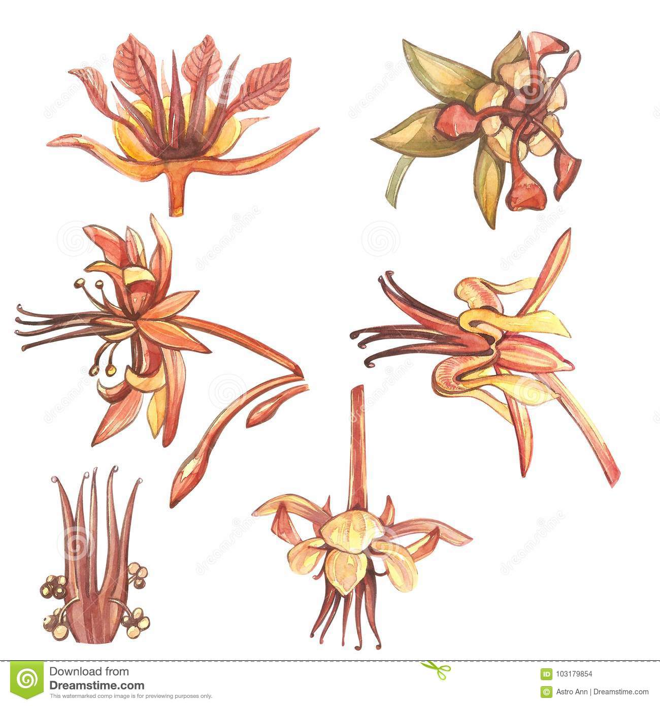 Set of botanical illustration. Watercolor cocoa flowers collection isolated on white background. Hand drawn exotic cacao