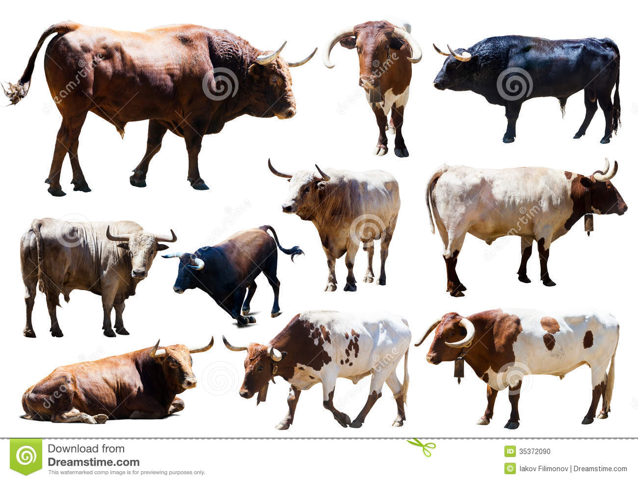set of bulls isolated over white
