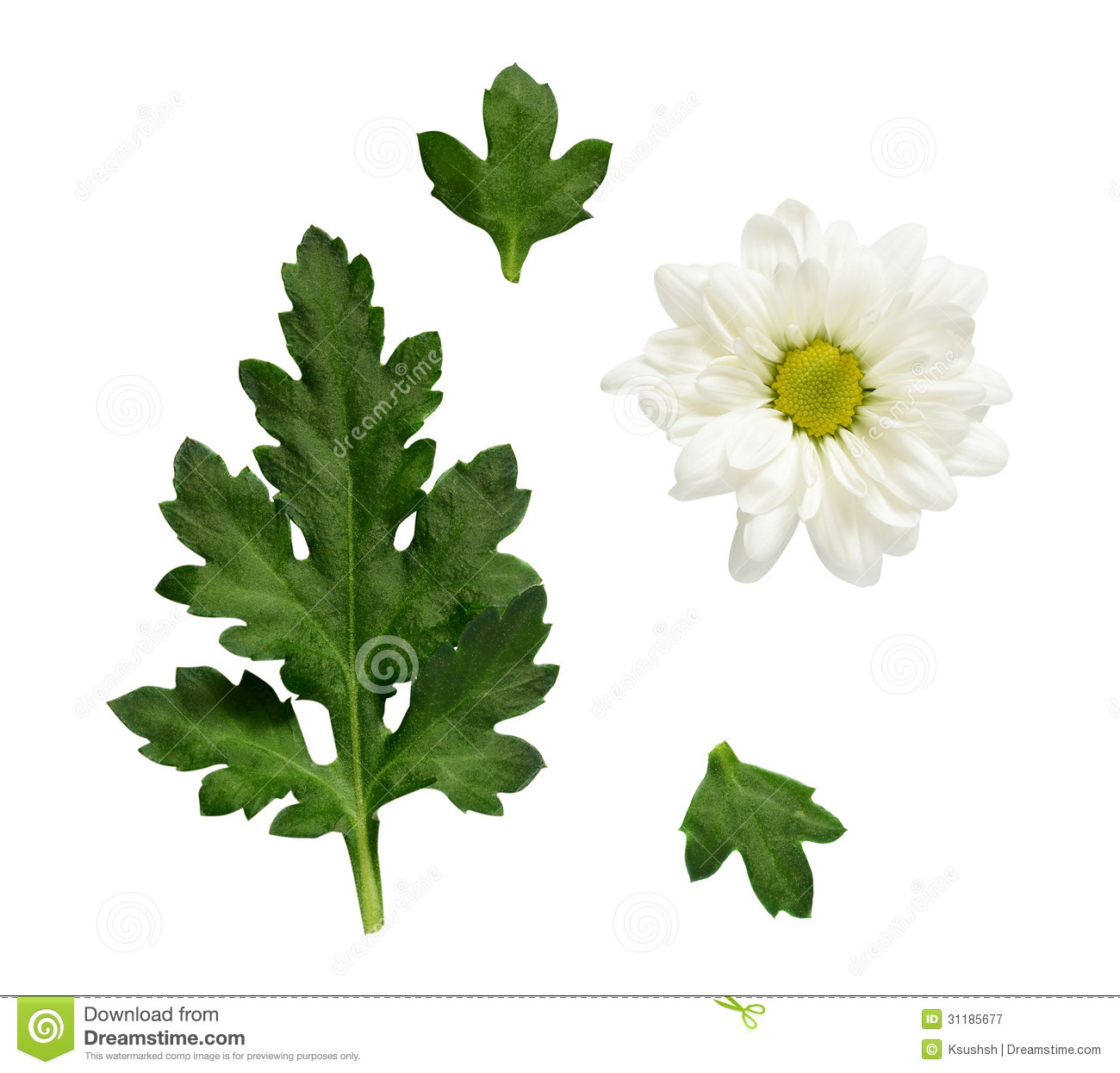 Set Of Chamomile Flower And Leaves For Collage Royalty