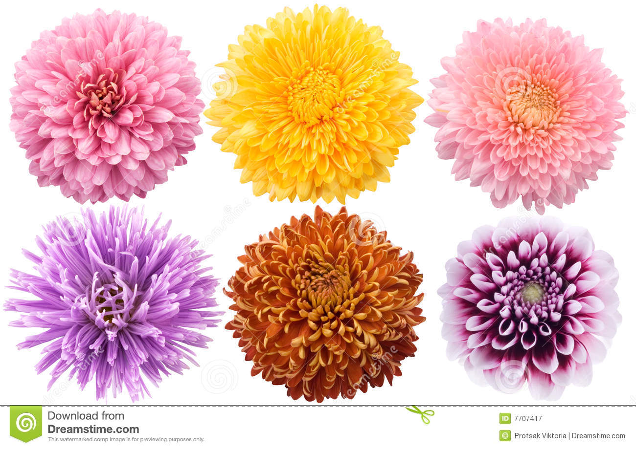 set of dahlia flowers in different color royalty free