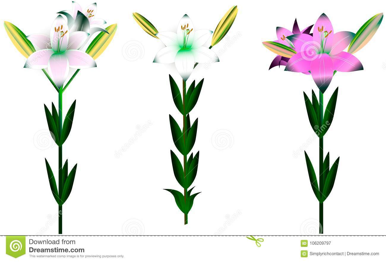 Set of different lilies with leaves and buds stock vector set of different blossoming beautiful colorful lily flowers for decoration decoration of ibuket exclusive design izmirmasajfo