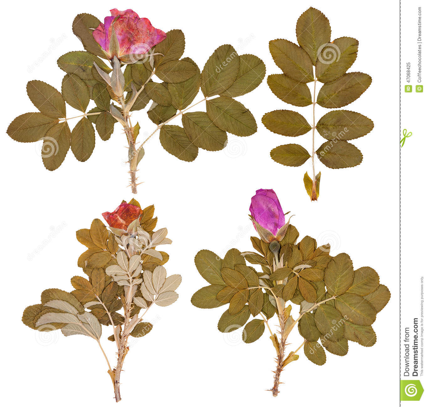 Set Dry Twigs And Pressed Flowers Wild Rose Isolated Stock Imag