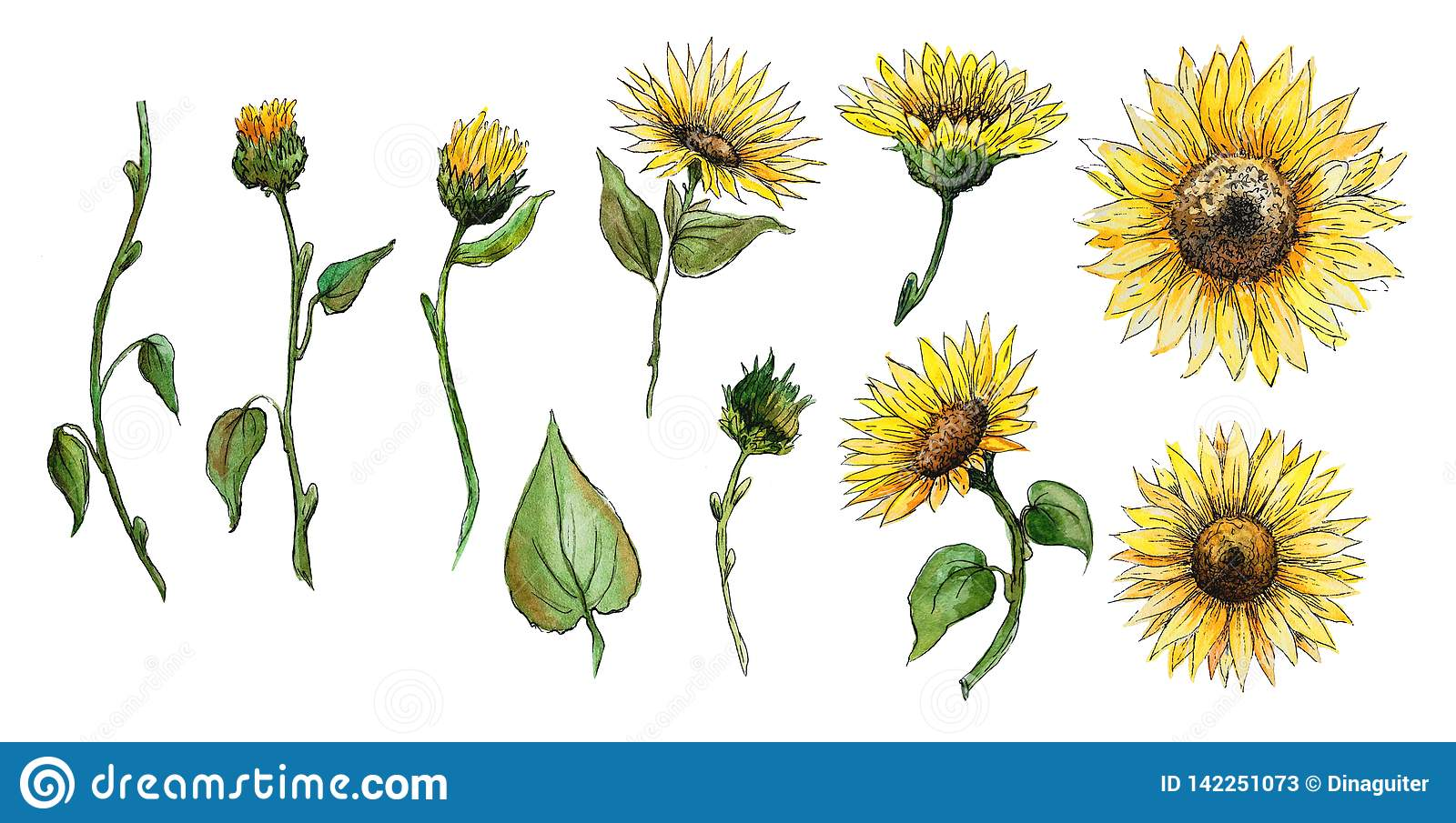 Set of elements flowers, buds, stalks of a sunflower watercolor graphics isolated