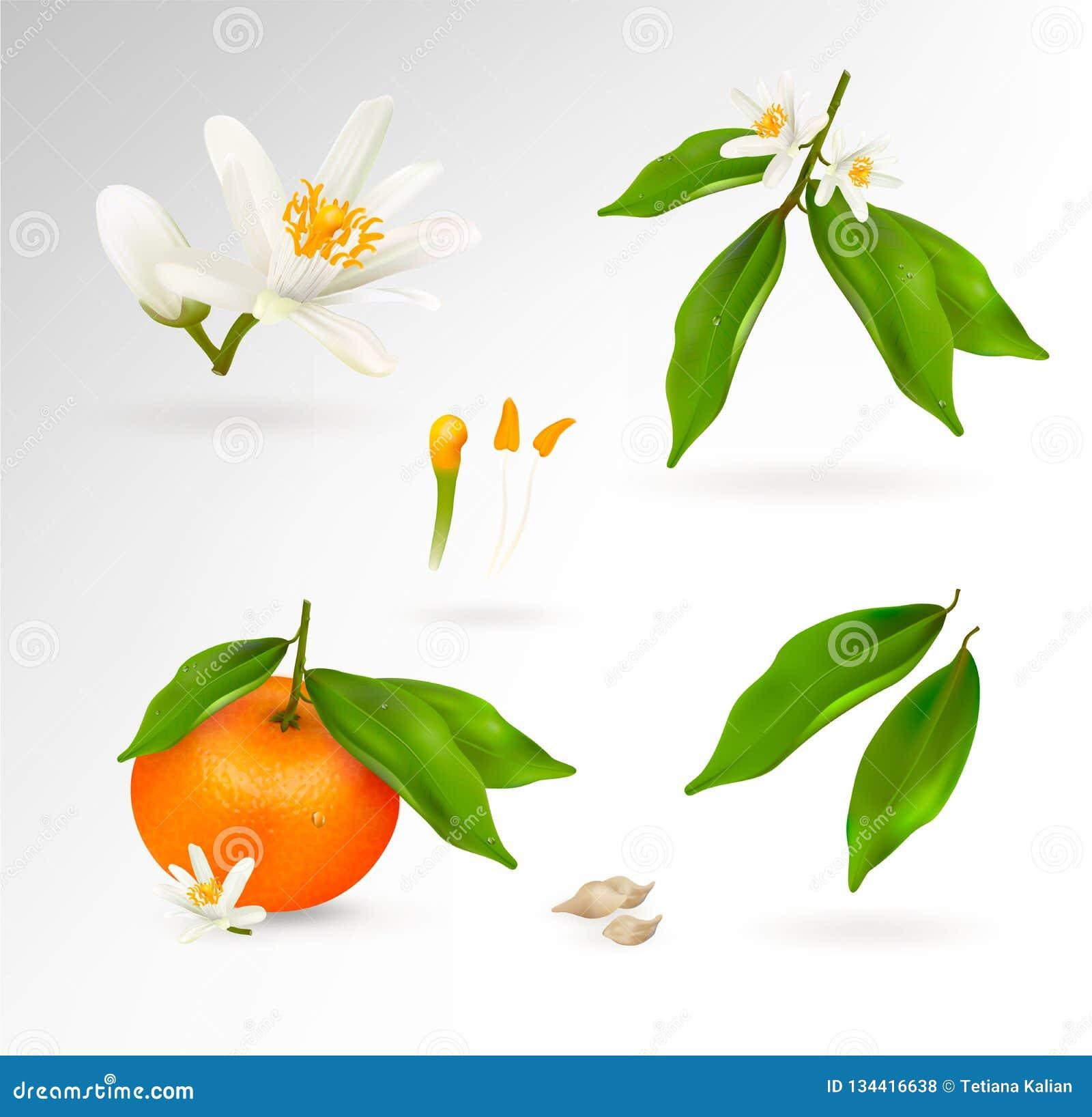 Set of elements of the structure of a mandarin or tangerine citrus plant. Flower, fruit, leaves, twig, stamens, pistil