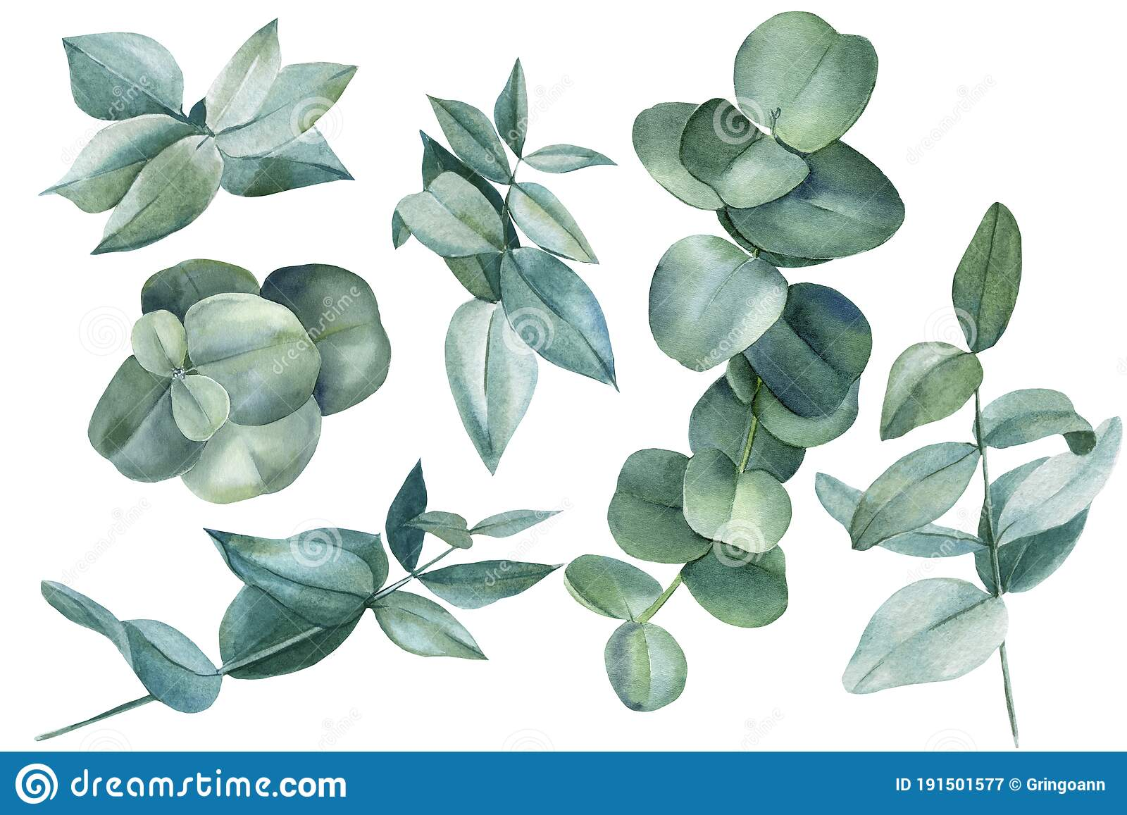 Set Of Eucalyptus Leaves, Floral Elements On An Isolated White ...