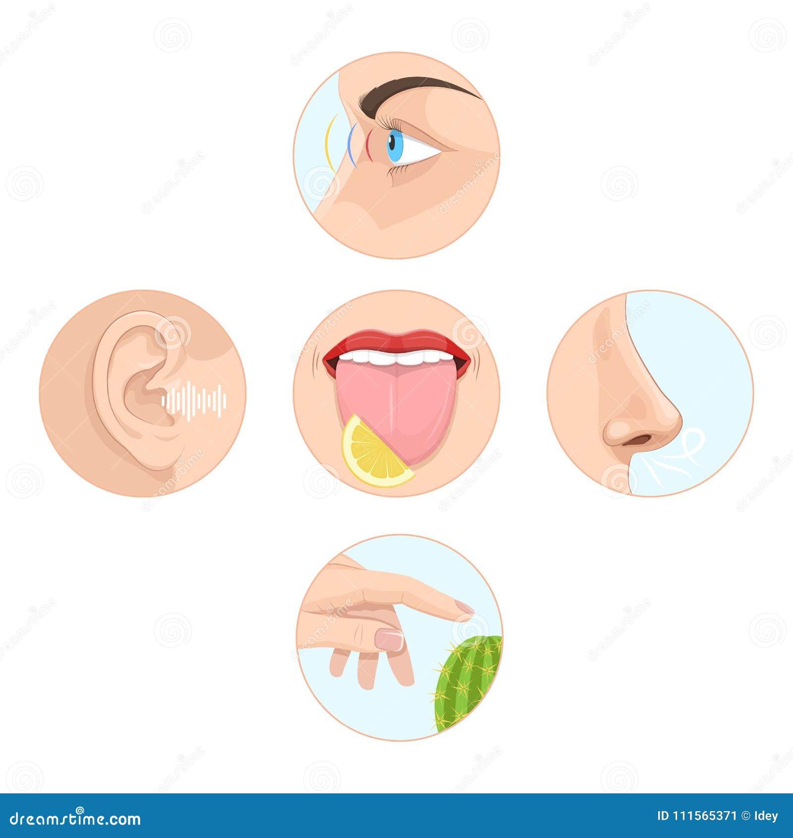 Set Of Five Senses Man Anatomy Human Organs Stock Vector