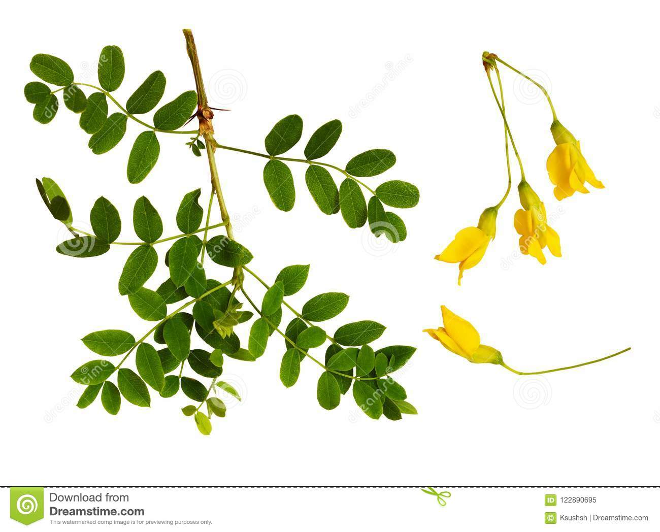 Set of fresh green leaves and yellow flowers of Siberian peashrub