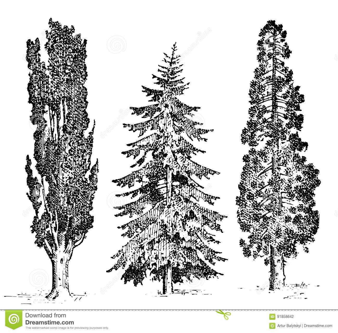 Set Of Hand Drawn Trees Italian Cypress And Stone Pine , Pinea ...
