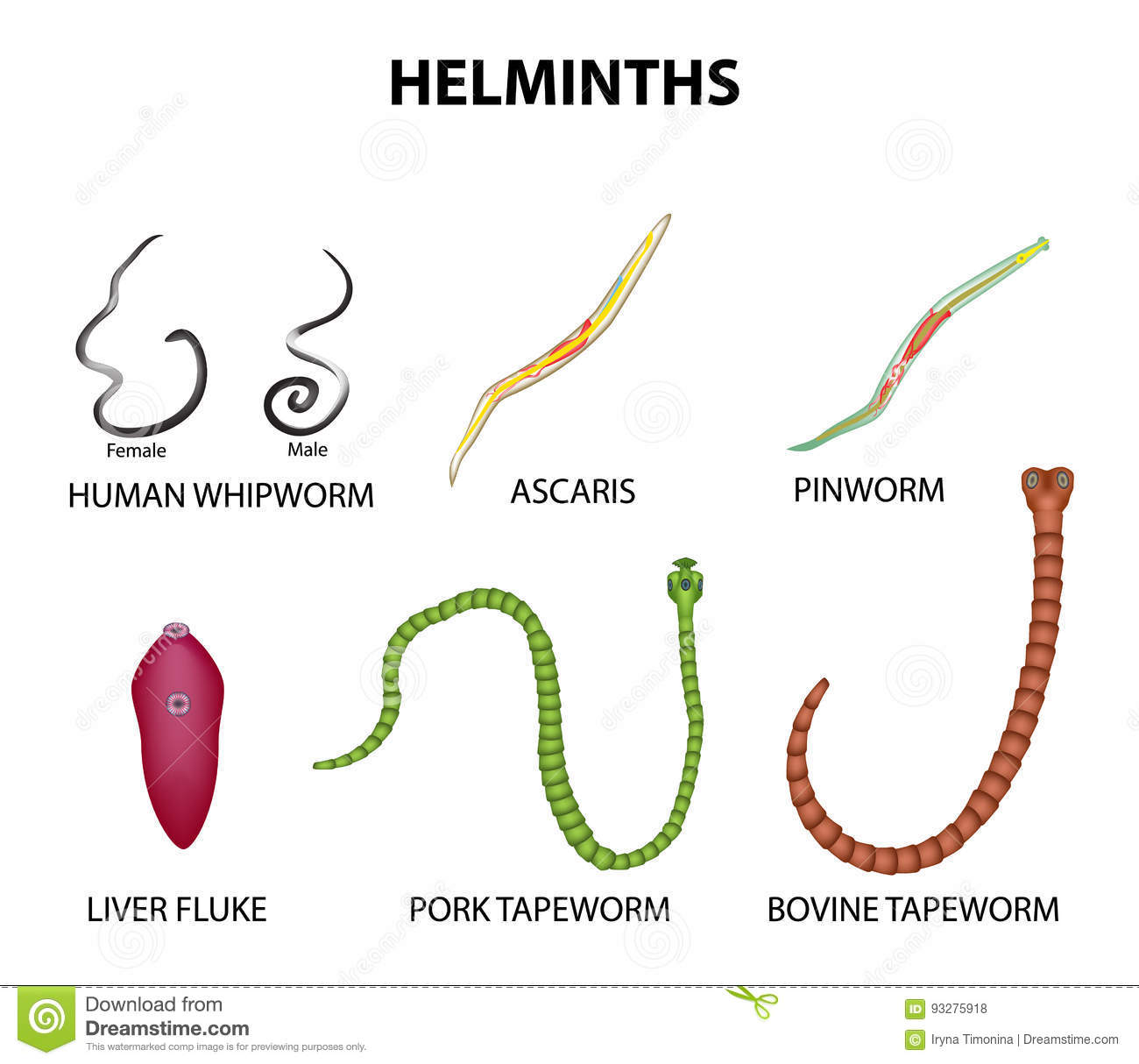 A Set Of Helminths. Roundworm, Ascaris, Pinworms, Bovine