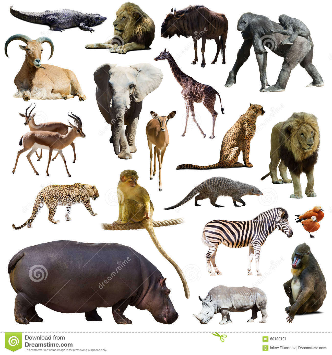 Set of hippopotamus and other African animals. Isolated