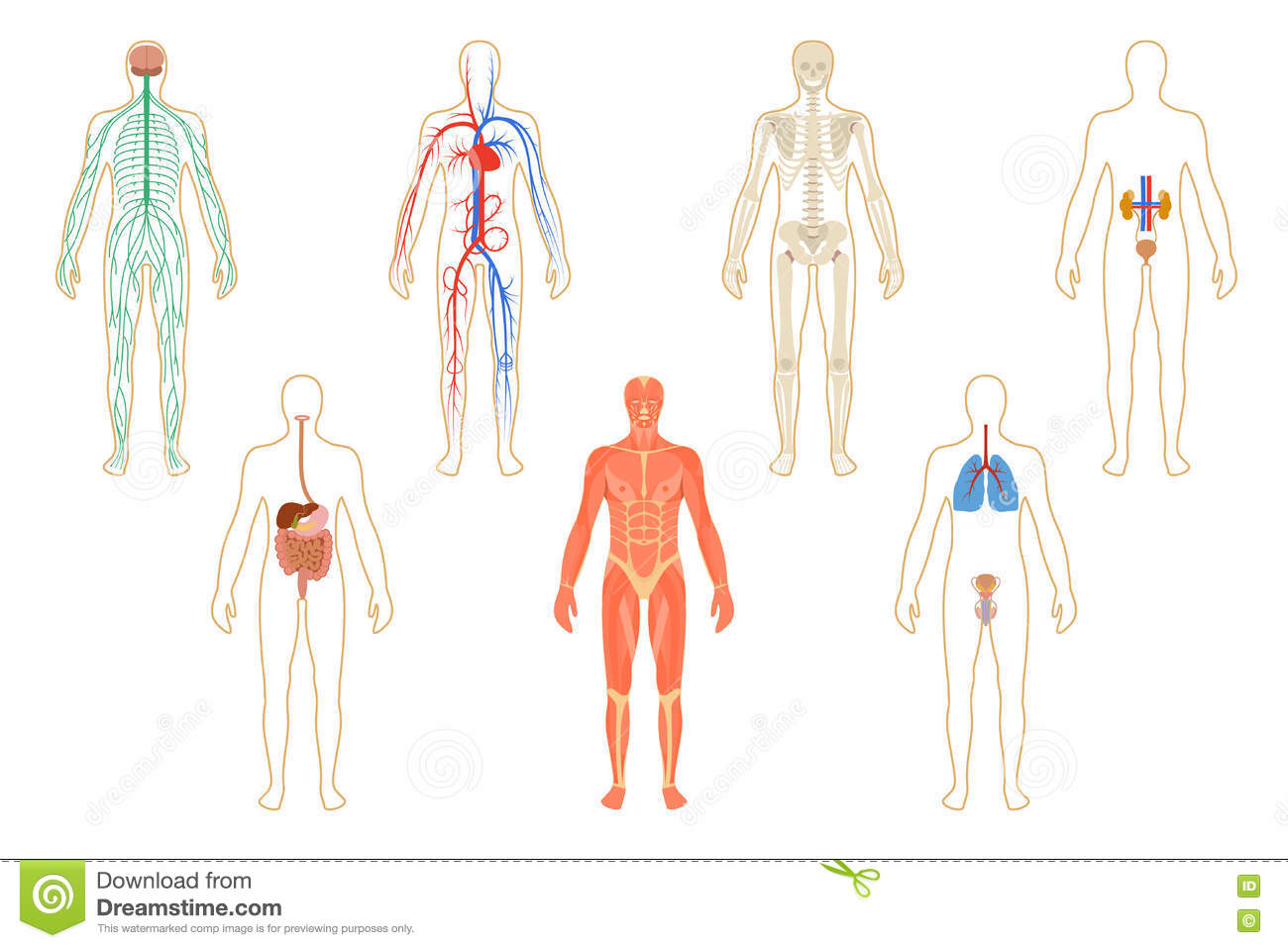 Set Of Human Organs And Systems Stock Vector Illustration Of