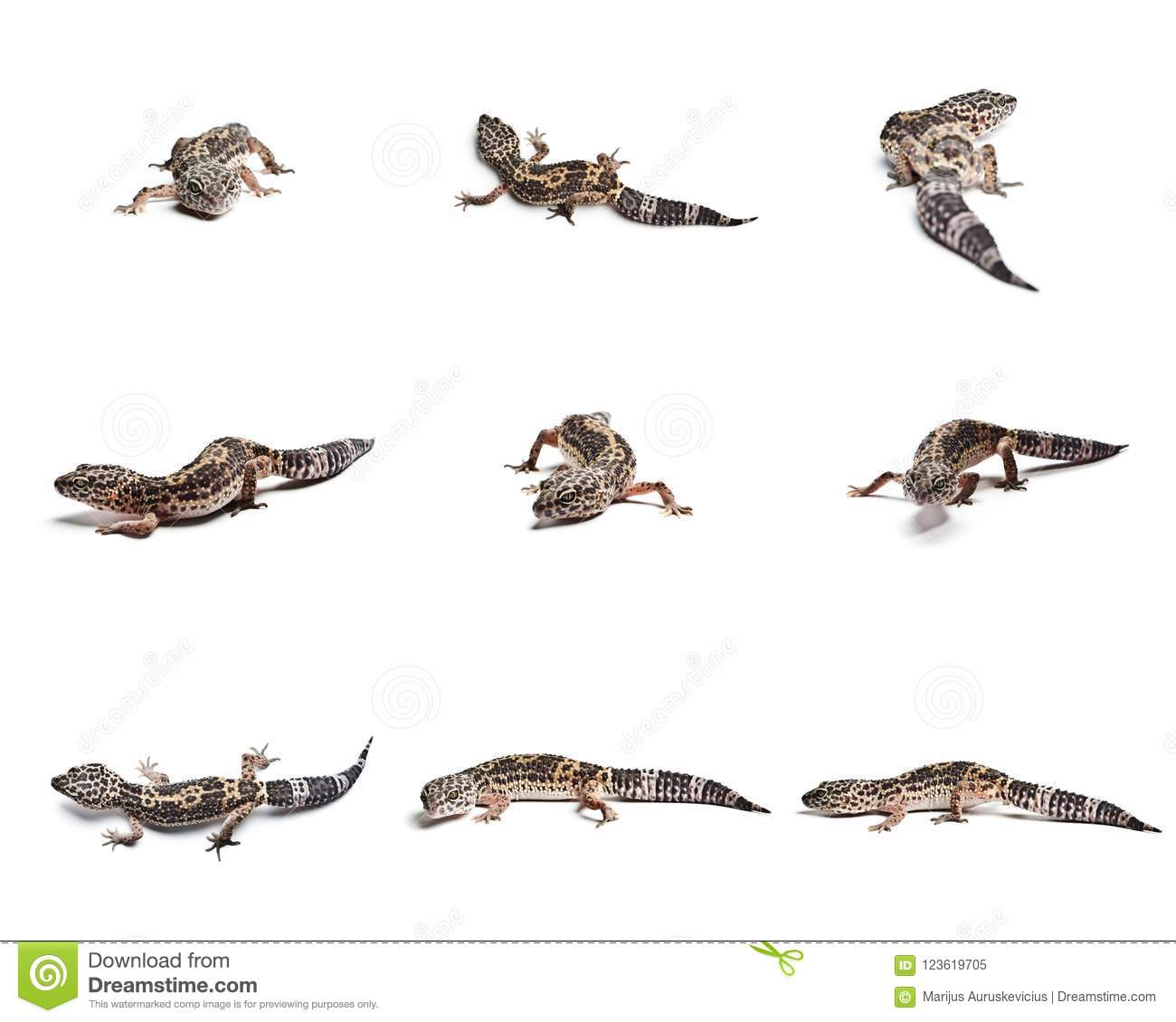 Set Of Leopard Gecko