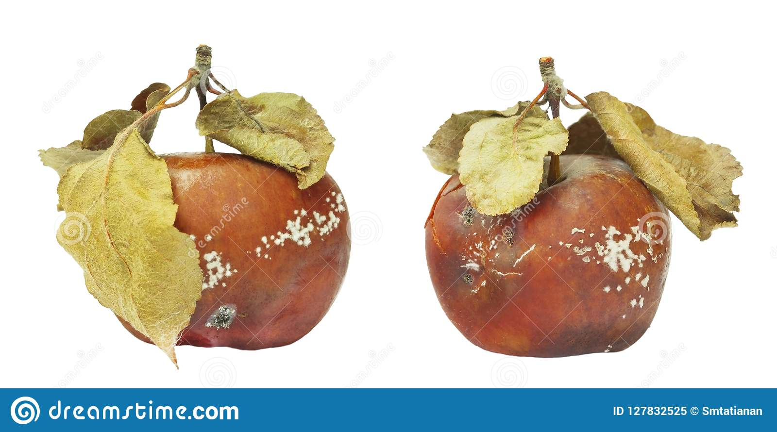 Set of mold growing on the old apple. Isolated on white background photo. Food contamination, bad spoiled disgusting rotten organi