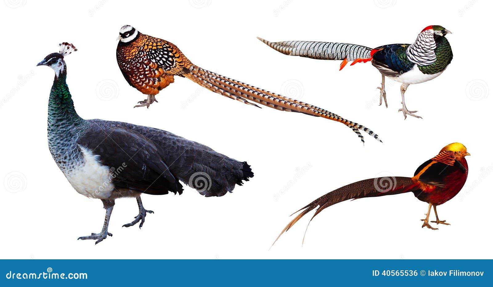 Set of pheasant family birds. Isolated over white