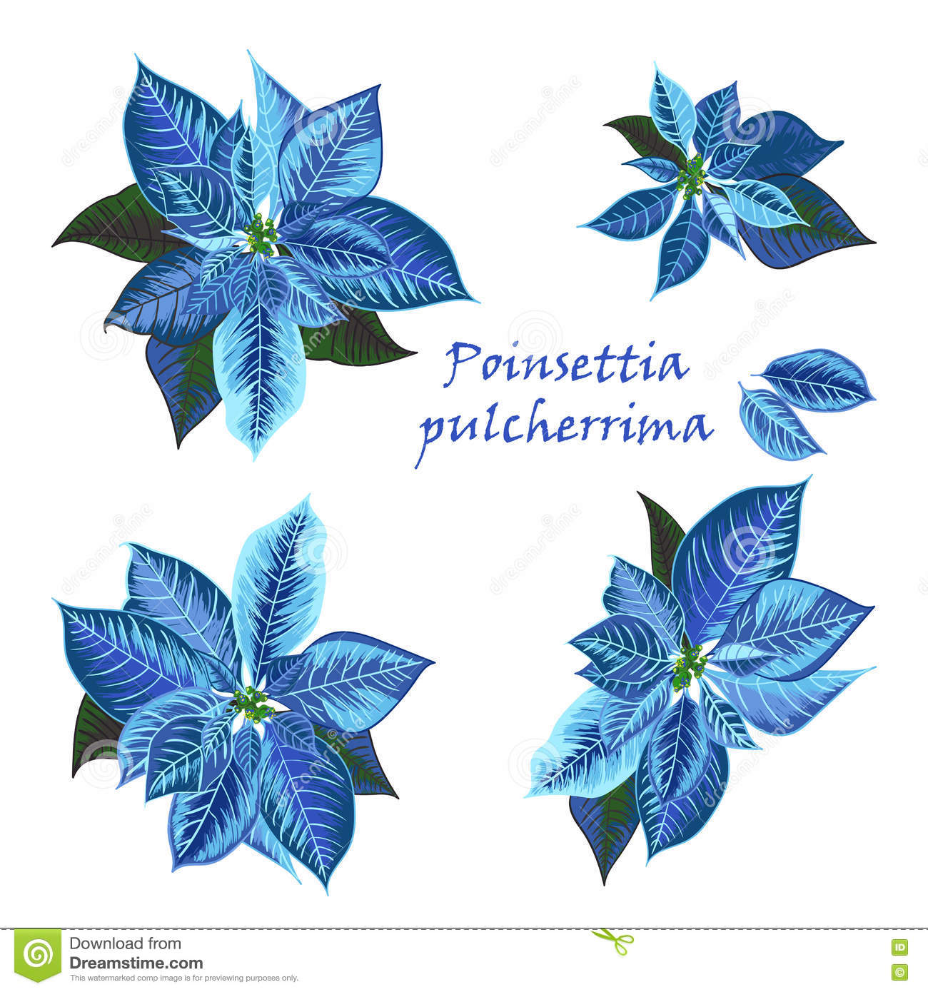 Set Of Poinsettia Flowers In Blue Color Stock Illustration Illustration Of Blossom Poinsettia 78886186