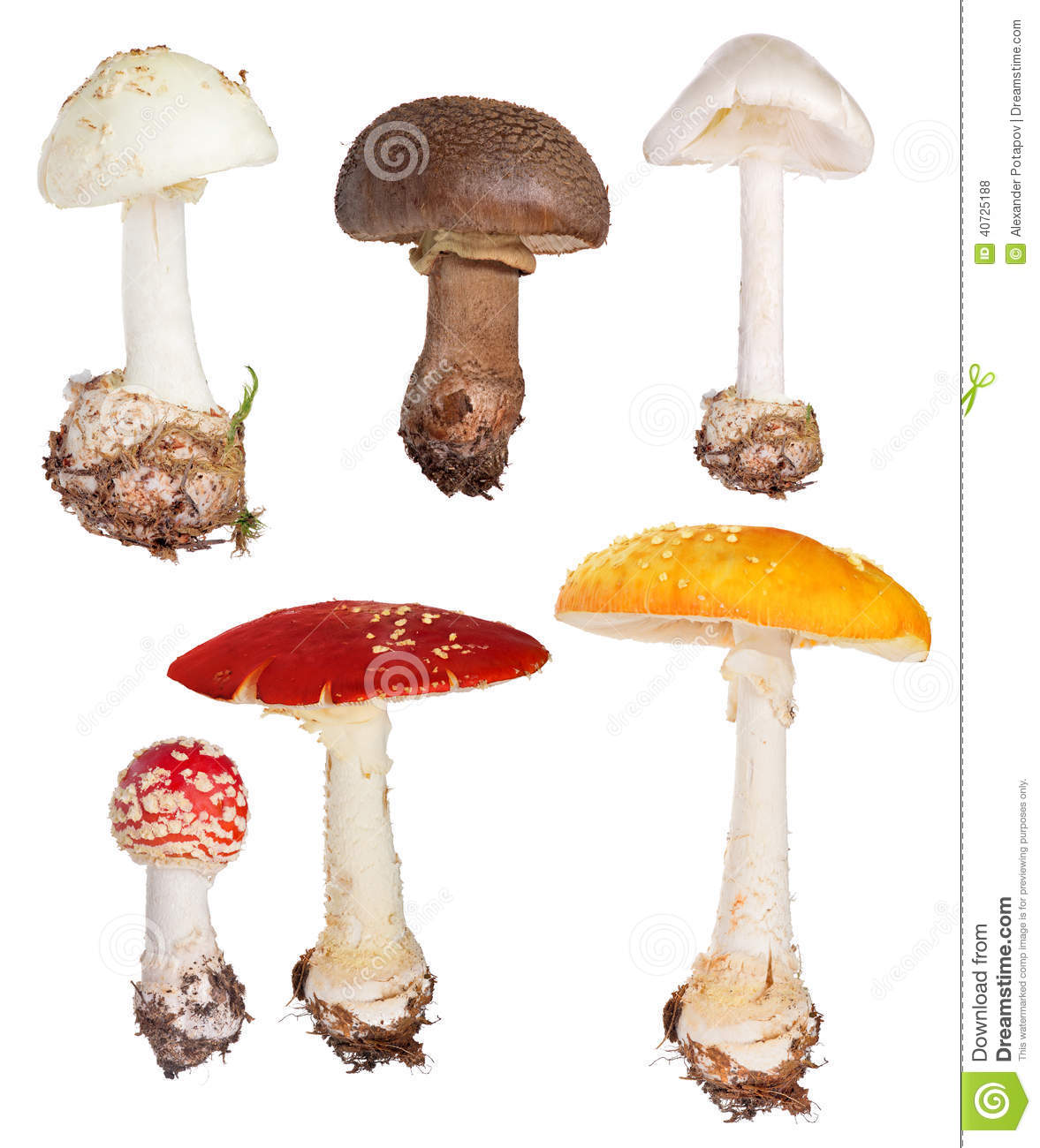 Set of poisonous fly agaric mushrooms isolated on white