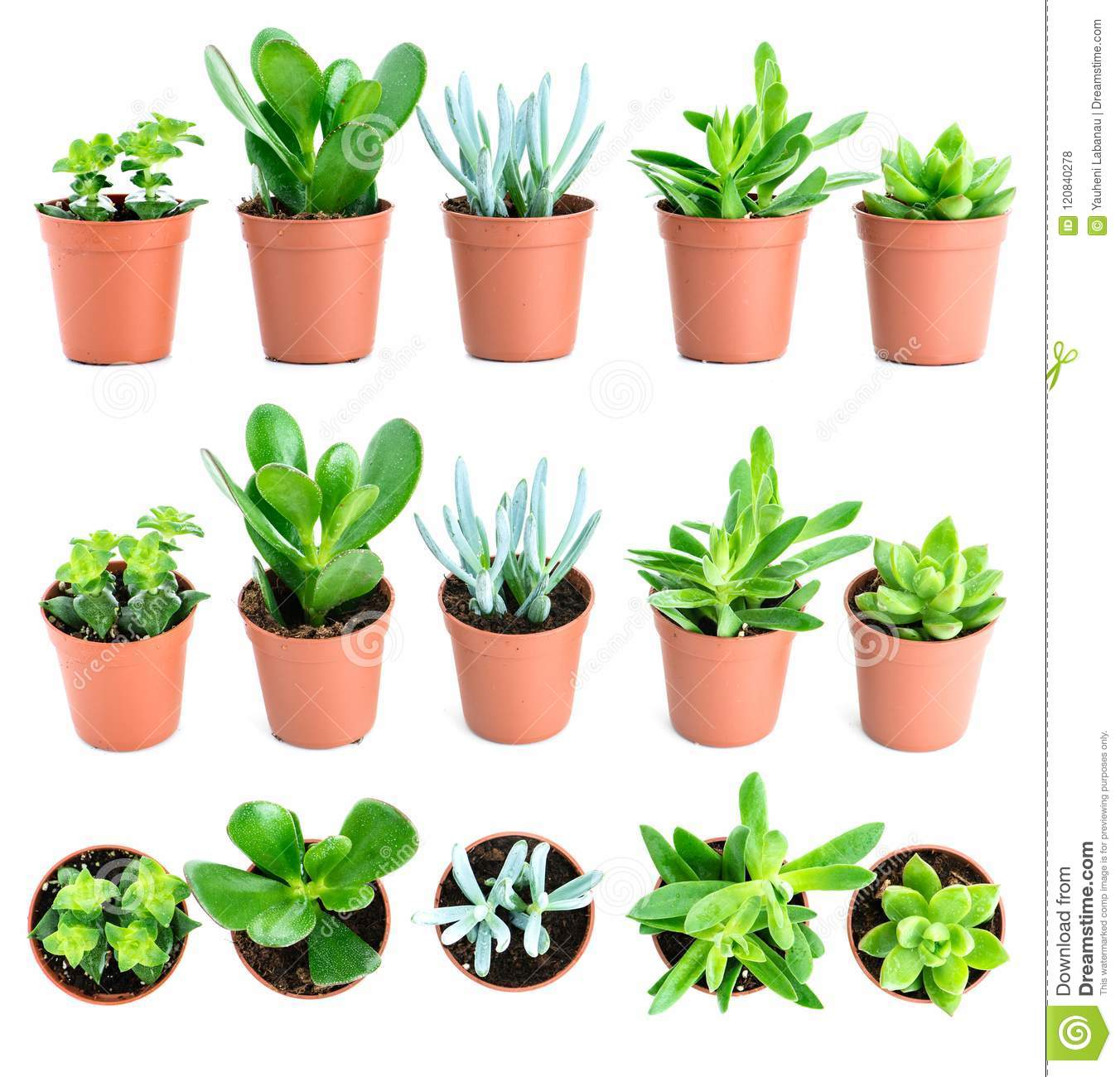 Set Of Pot Plant Echeveria And Other Succulents In Different Types