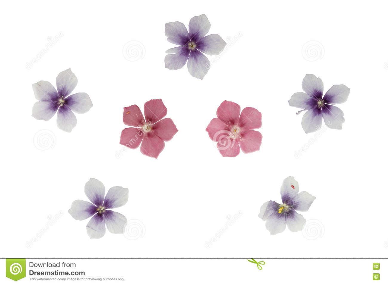 How to scrapbook dried flowers - Set Of Pressed And Dried Flowers Blue Pink Phlox Isolated