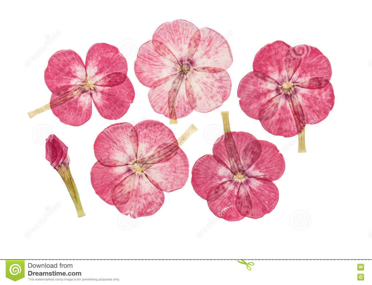 How to scrapbook dried flowers - Set Of Pressed And Dried Flowers Pink Phlox