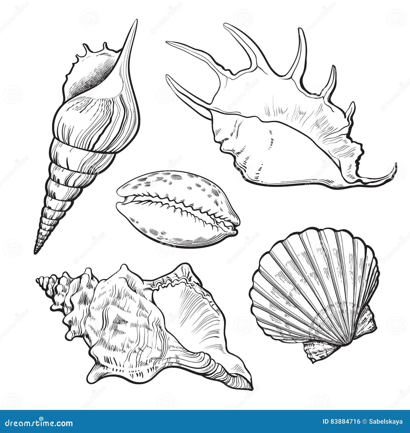 Set różnorodnego pięknego mollusk denne skorupy, odosobniona wektorowa ilustracja