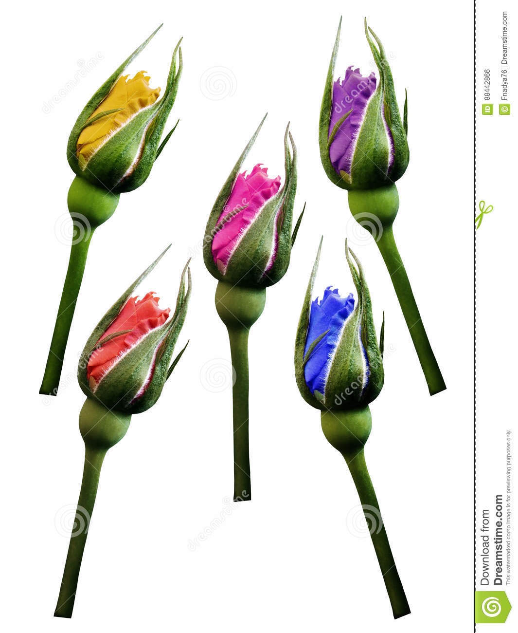 Set red blue yellow pink violet roses flowers, white isolated background with clipping path. Closeup. no shadows. Bud of a rose